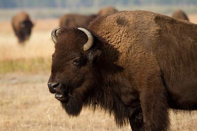 Grand Teton National Park Bison