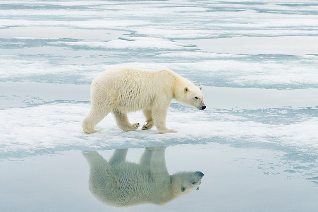 Polar Bears of Norway