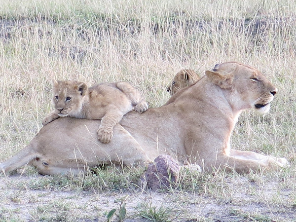 East Africa School National Park Lions